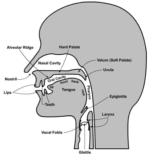 Speech Organs Diagram
